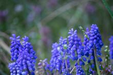 ムスカリが咲く春の野山