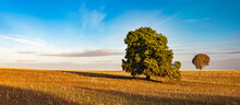 Panorama Of Two Horse Chestnut Trees In Stubble Field Under Blue Sky In Autumn