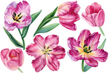 Pink Flowers, Set Tulips On Isolated White Background, Botanical Illustration In Watercolor