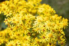 Yellow Flowers Growing In County Durham - Jacobaea Vulgaris Aka Common Ragwort, Stinking Willie, Tansy Ragwort, Benweed