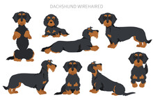 Dachshund Wire Haired Clipart. Different Poses, Coat Colors Set