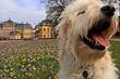 canvas print picture - Sieben Monate alter Goldendoodle vor dem Arolser Schloss mit Krokussen