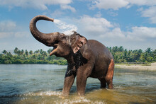 Elephant Washing And Splashing Water Through The Trunk In The River