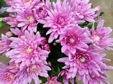 Pink Chrysanthemum Flowers Bloom In Flower Garden Or Greenhouse. Beautiful Chrysanthemum Bouquet Top View