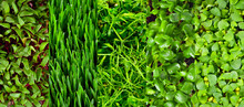 Microgreen Of Wheat, Peas, Sunflowers, Amaranth, Beets And Basil Close Up. Texture Of Green Stems And Leaves. Different Types Of Sprouts.