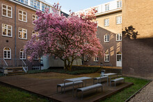 A Beautiful Flowering Magnolia Tree Near A University Building In Maastricht. The Tree Is A True Eyecatcher For All People During Spring With All The Blossom And Amazing Smell