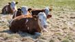 canvas print picture - Junge Rinder, Rind mit Saugstopp Nasenring, auf einer Weide im Frühjahr
