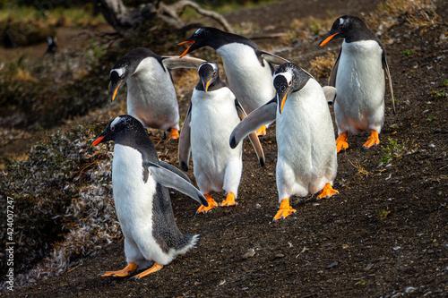 Fotografiet Gentoo penguin colony on Martillo Island, Tierra del Fuego, Argentina
