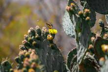 Mariposa Polinizando Nopal (lepidopterofilia)  Con Insecto Volador