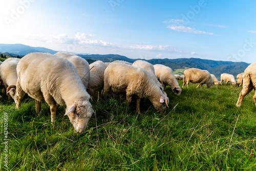 Fototapeta Pienińskie krajobrazy, wypas owiec na zboczach Wysokiego Wierchu. obraz