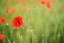 Bright Wild Red Poppy Flowers, Petals Wet From Rain Growing In Green Unripe Wheat Field