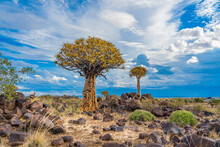 Quiver Trees In Warm Light, Background Blue Sky With Beautiful Clouds At Keetmanshoop