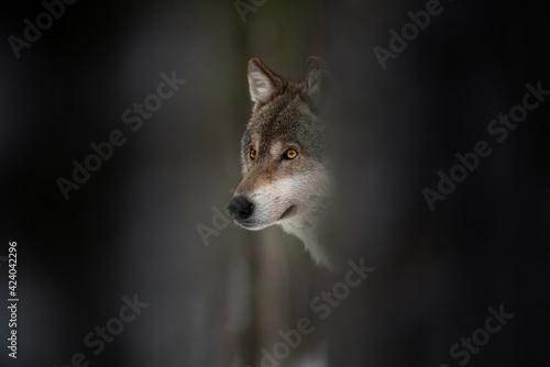 Photo Wolf Muzzle