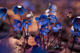 Fototapeta Kwiaty - Przylaszczka pospolita wiosenne kwiaty
