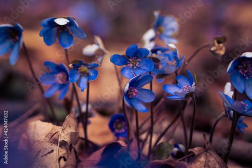 Przylaszczka pospolita wiosenne kwiaty