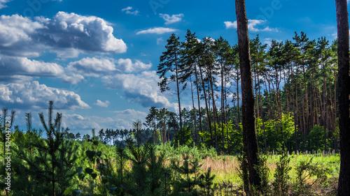 Obraz młody las Kużnica Brzeźnicka - fototapety do salonu