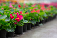 Blooming Farm, Sprouts Ready For Sale And Planting In Garden, Flowers Industry And Plant Care