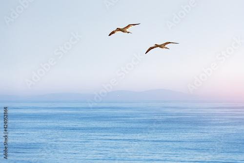 Obraz Flying gannet on blue sky - fototapety do salonu