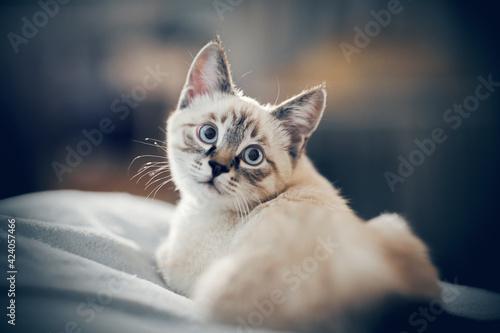 Fotografia Portrait of a kitten of Thai breed.