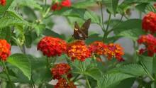Silver Spotted Skipper Butterfly On A Lantana Flower 4K