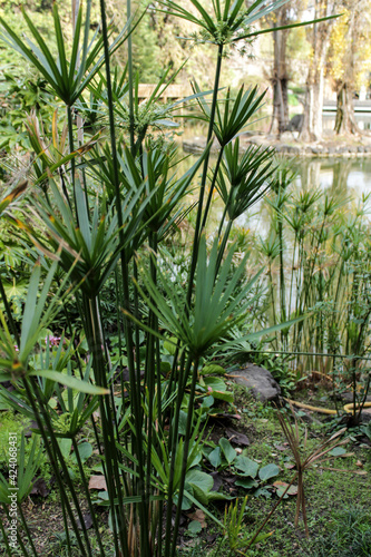 Fototapeta Cyperus papyrus plant in the garden