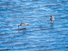 Two Curlews Paddling