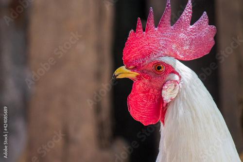 White Rooster Tapéta, Fotótapéta