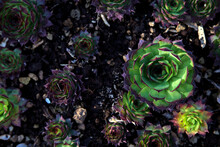 Succulents In A Vase With Dark Soil