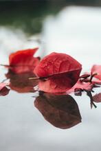 Flores Vermelha Na Poça De Agua