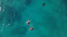 Sea Turtles Swimming Copulating On Surface Of Blue Transparent Water Indian Ocean, Exmouth Western Australia Top View Aerial Shot