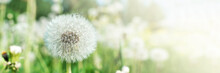 Field With White Fluffy Dandelions And Fresh Green Grass. Summer Spring Natural Landscape. Banner.