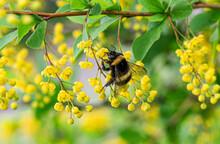 Macro Bee On Yellow Flower