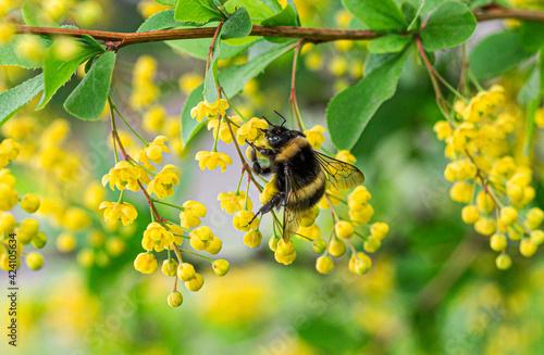 macro bee on yellow flower Fototapeta