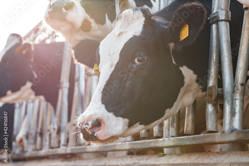 Fotografie, Tablou Black and white spotty cows on a farm