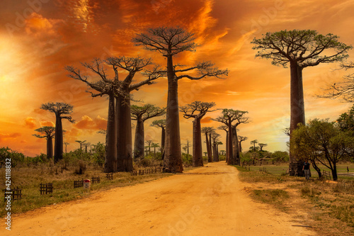 Beautiful Baobab trees at sunset at the avenue of the baobabs in Madagascar Fototapet