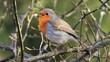 Rotkehlchen(Erithacus rubecula) singt. Vogel des Jahres 2021