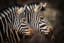 Double Vision. Two Zebras Alongside Each Other.