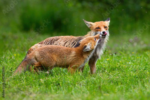 Fototapeta premium Two red fox touching with nose on meadow in summer