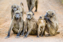 Troop Of Chacma Baboons Playing Around In The Main Dirt Road.