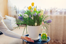 Easter Home Decor. Woman Puts Eggs By Spring Blooming Flowers In Pot. Yellow Hyacinths, Tulips, Muscari On Table.