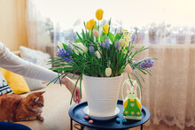 Easter Home Decoration. Woman Puts Eggs By Spring Blooming Flowers In Pot. Yellow Hyacinths, Tulips, Muscari On Table.