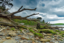 Moss Covered Boulders And A Fallen Tree On The Beach At Glendurgan On The River Helford On A Dull Spring Day With Boats Moored In The Estuary, Near Mawnan Smith, Cornwall, UK