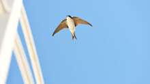 Common House Martin (Delichon Urbicum) Flying From A Nest. Clear Blue Sky. Symbol Of Hope, Peace, Joy. Nature, Wildlife, Birds, Bird Watching, Ornithology, Science, Graphic Resources. Panoramic View