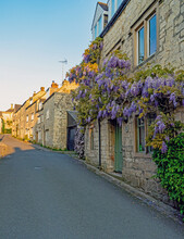 Wisteria Growing On A Wall Bathed In Early Light In Spring, Painswick, The Cotswolds, Gloucestershire, UK
