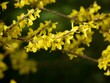 canvas print picture Forsythia Bush in Flower