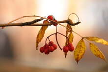 A Lonely Branch Of Mountain Ash, Some Red Berries And Yellow Leaves. Autumn Photo Of Rowan With Yellow Leaves And Berries On A Gentle Pink Background. Northern Nature, Bird Feeding.