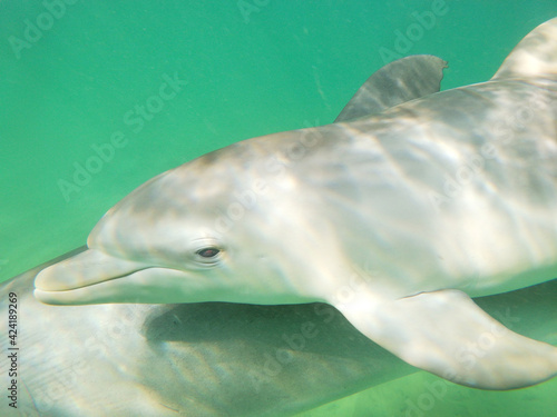Canvas Swimming with mother and calf bottlenosed dolphins