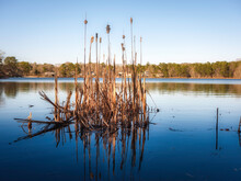 Close Up Of Cattails In The Foreground With Blue Sky And Forest With Houses In The Background. Pond With Gentle Waves With Reflections Of Brown Wild Water Plants.