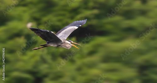 Fototapeta premium Gray heron,Wildlife in natural habitat