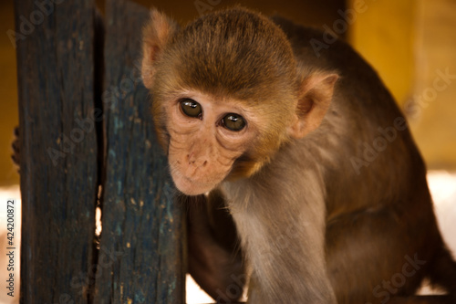 Obraz Monkey Mt Popa Myanmar - fototapety do salonu